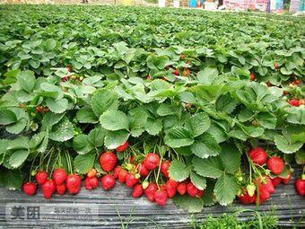生态草莓园