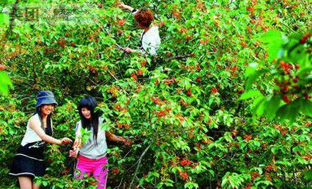 历史悠久,最老樱桃树已达三百年树龄,近年来引进的多个优良樱桃品图片