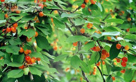 野生动物园采摘樱桃一日游团购 价格 图片 美团网图片