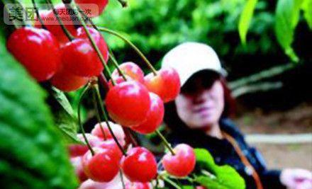 """种植面积,各种樱桃树5万余棵.每年5月樱桃成熟时,""""樱桃满枝头,图片"""