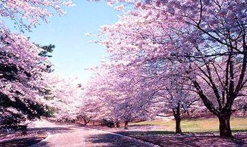 【贵阳出发】平坝农场樱花园1日跟团游*3月中旬发团-美团