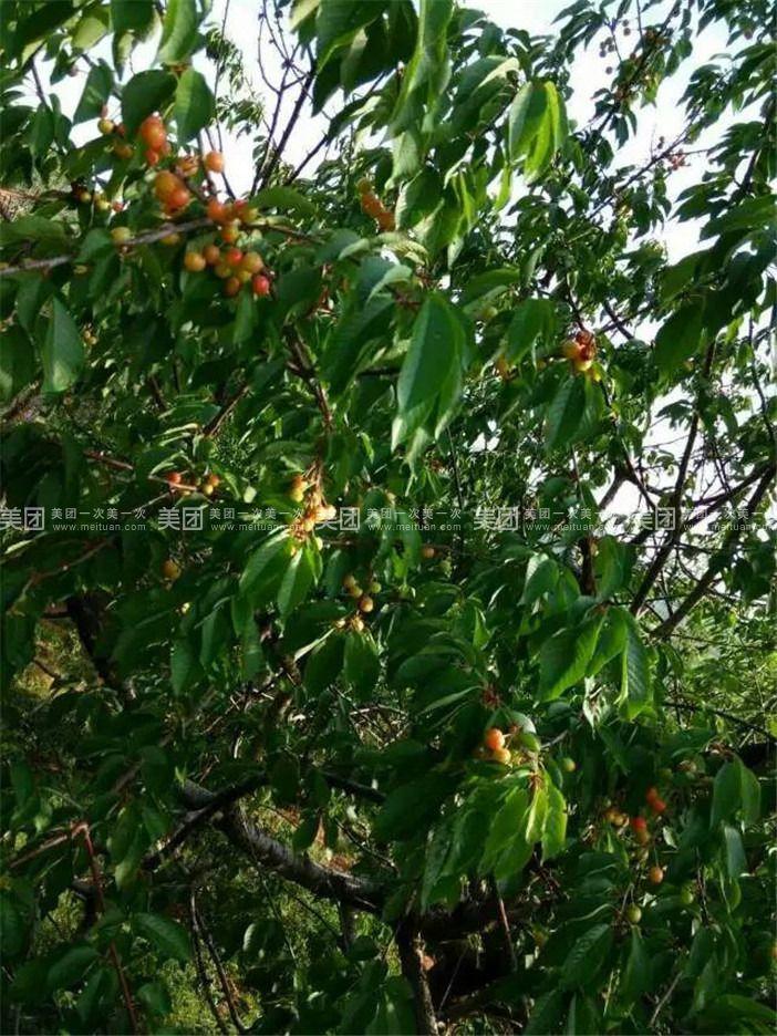 英歌石樱桃水果采摘园