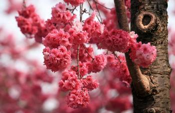 【温泉镇】天适樱花悠乐园-美团