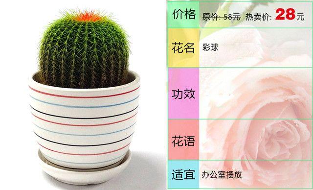 :长沙今日团购:【燕姿花艺】彩球绿植盆栽办公室内桌面防辐射绿色植物1盆,提供免费WiFi