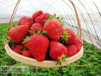 晓伟草莓采摘