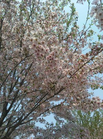 【凤泉区】吉森樱花源成人票-美团