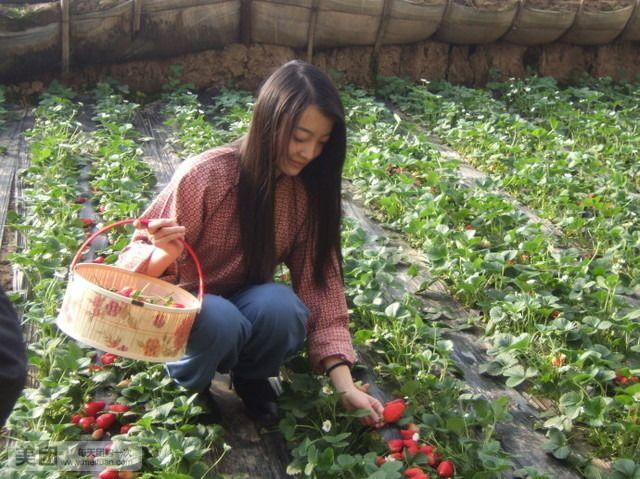 君豪小镇草莓采摘园