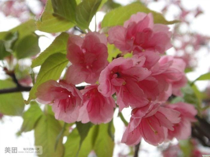 幸福树换盆时土球散了