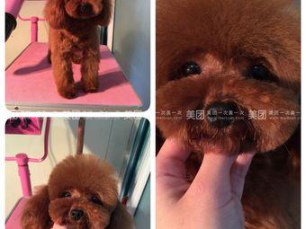 泰小熊宠犬