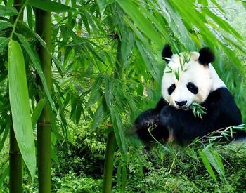 【其它】大熊猫繁育研究基地门票+芙蓉国粹川剧丙票(成人票)-美团