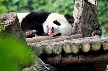 【成华区】大熊猫繁育研究基地门票+电子讲解(成人票)-美团