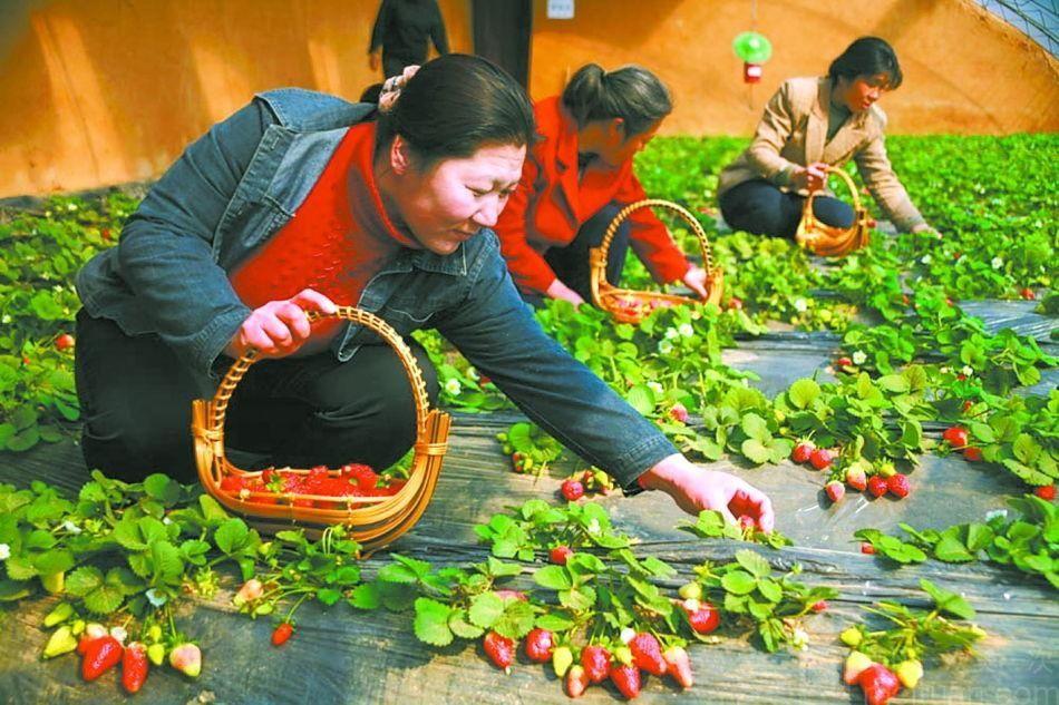 三桃有机牛奶草莓采摘基地-美团