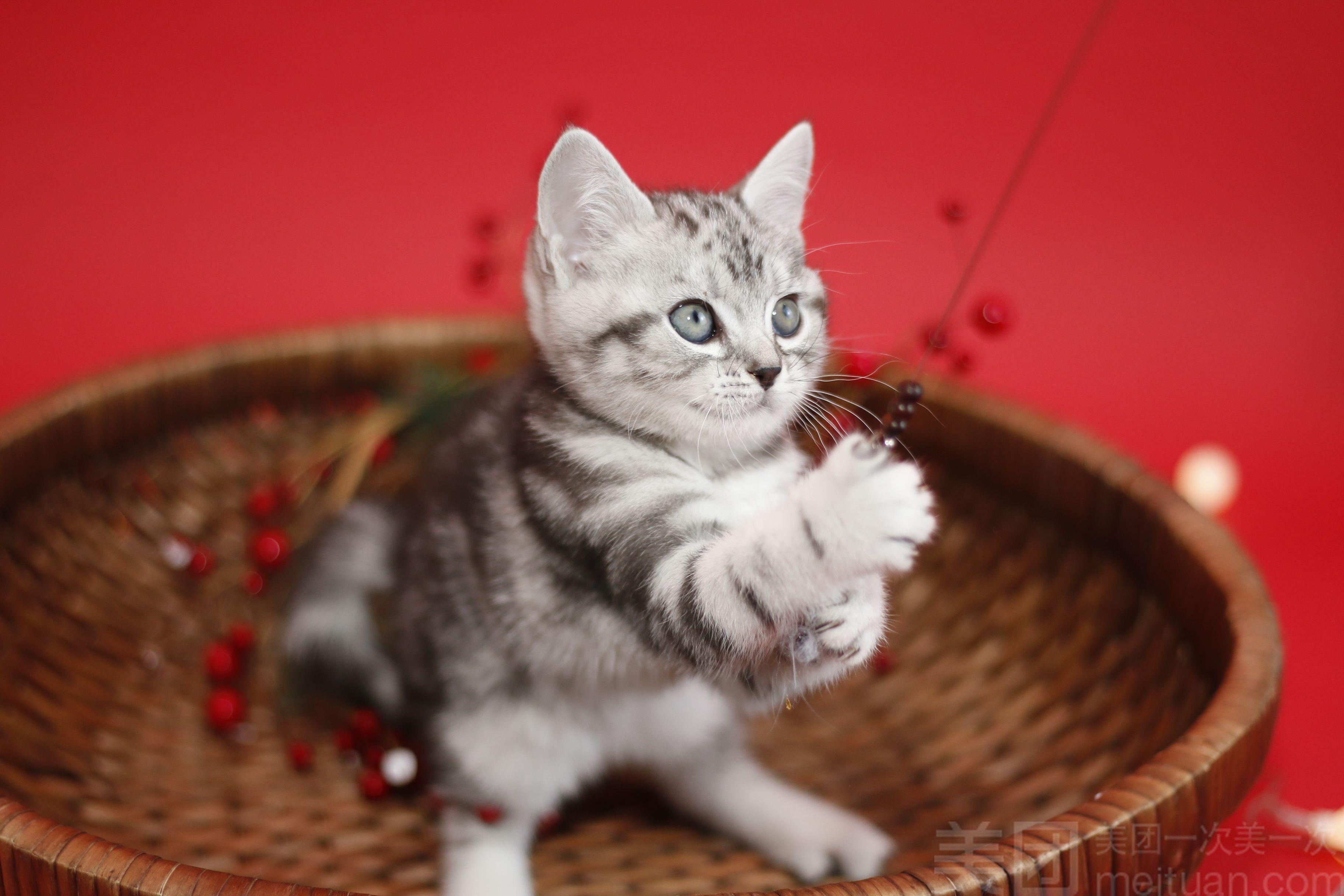 纯种美国短毛猫