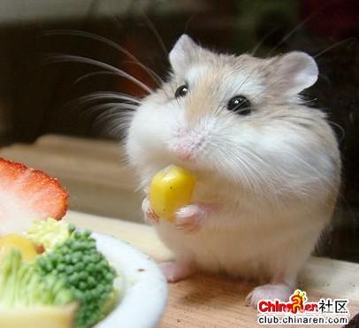 超级可爱的小仓鼠