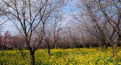 【鄢陵县】圣帝樱花园(成人票)-美团