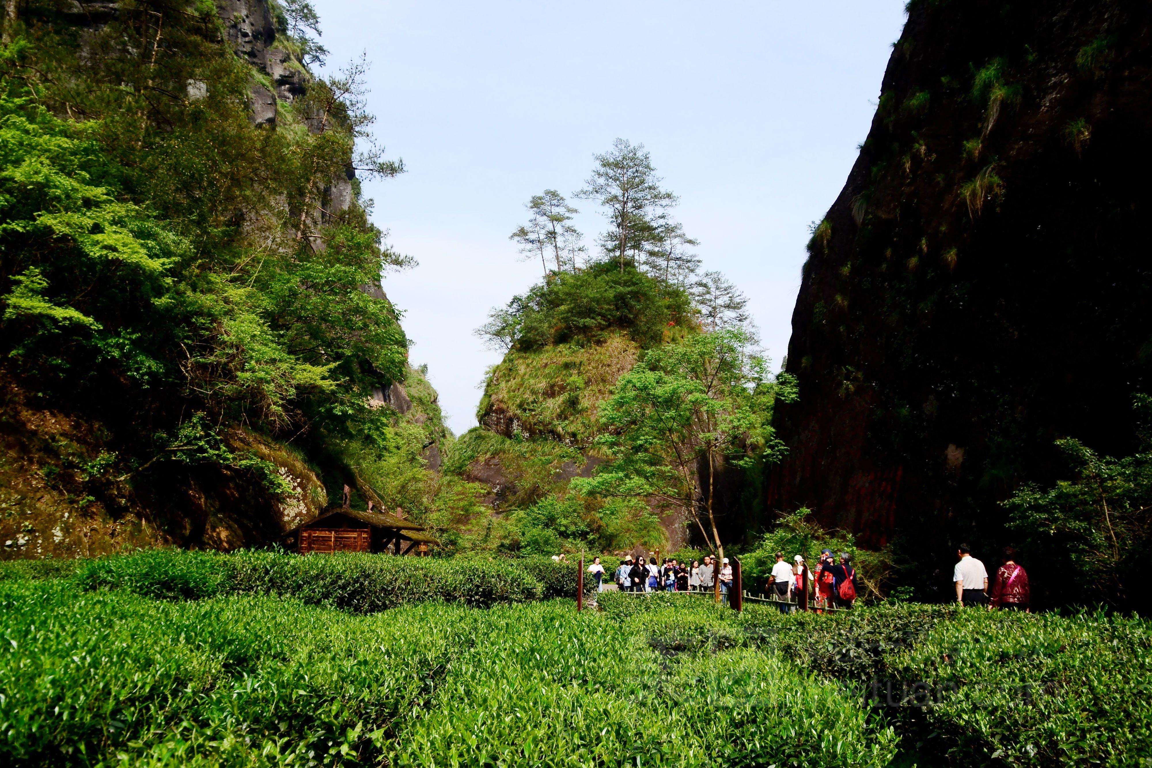 WeiXin_2861633949: 夏天的时候和家里人去了一次,风景非常好看。从山下到山顶一路上都是各种茶树。在这里也看到了大红袍的母树,导游说所有的武夷山大红袍都是从这几棵母树上分下来的(但是母树看上去很瘦小不知道... 大家认为: