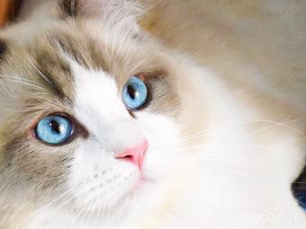 MeoWorld家的猫&CFA宠物猫舍