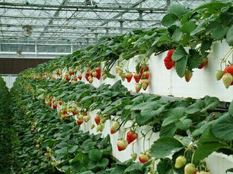 吴家生态草莓园