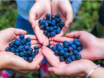 石头蓝莓采摘园