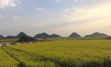 【防城港出发】油菜花海、罗平油菜花景区、金鸡峰丛等3日跟团游*来看油菜花-美团