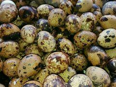 热乌豆的五香鹌鹑蛋