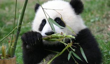【成都出发】大熊猫繁育研究基地纯玩1日跟团游*环保节能往返车票-美团