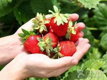 义乌夏演草莓园.strawberry