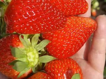彩霞草莓园