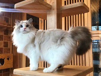 Pola猫舍·猫咪活体售卖