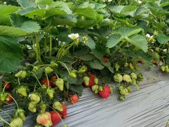 超超草莓采摘基地