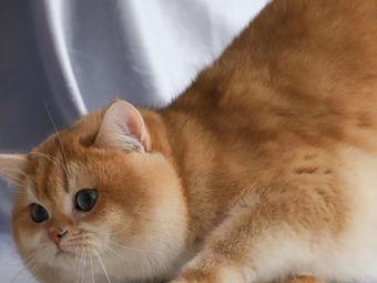 猫贝·猫咖猫舍·金渐层