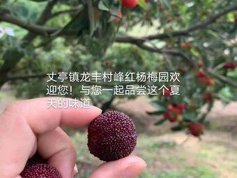 峰红杨梅采摘基地