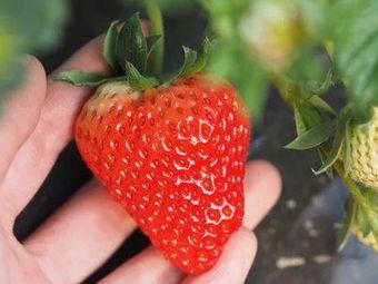 神兽草莓采摘基地(昆山基地)