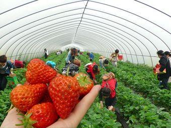 唐氏农场草莓采摘园