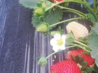 爱东家庭农场草莓·水蜜桃·葡萄采摘园