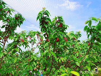 叶洪有机樱桃采摘园
