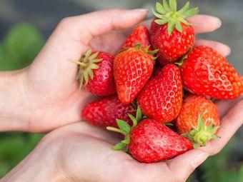文杰草莓采摘