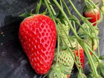 大熊草莓采摘园