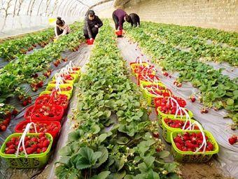 红云草莓采摘园
