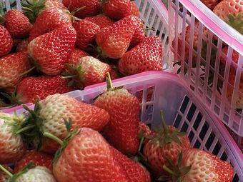 北大荒老万草莓采摘园