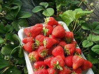 张虎庄草莓采摘园
