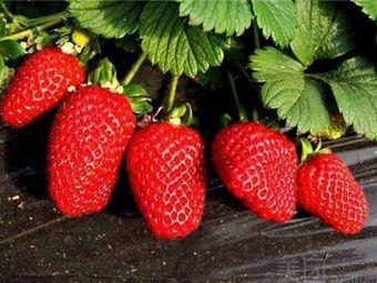 桑园基地草莓采摘
