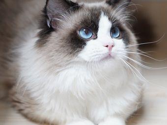 Meow喵呜家庭繁育猫舍