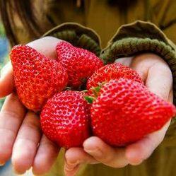 5210草莓園(旗艦園)