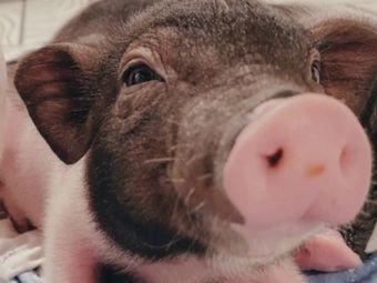 仙气飘飘·撸猪社