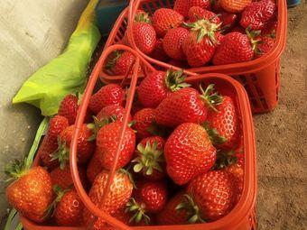 香岛小刘草莓采摘