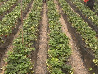奶油巧克力草莓采摘园