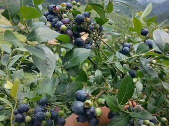 蓝博蓝莓园