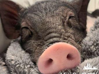 MINI PIG撸猪社