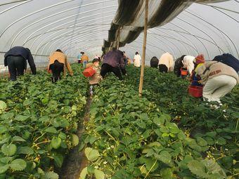 紫慧农庄草莓采摘园